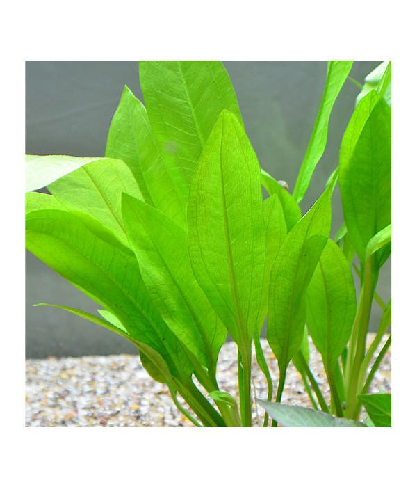 planet plants 30er set bund topf aquarium pflanzen dehner. Black Bedroom Furniture Sets. Home Design Ideas