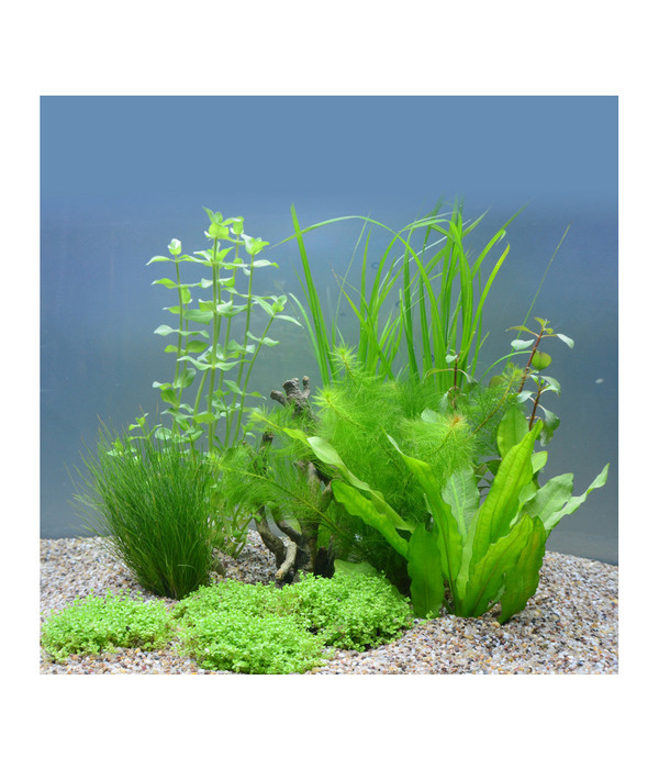 planet plants 60er set topf bund aquarium pflanzen dehner. Black Bedroom Furniture Sets. Home Design Ideas