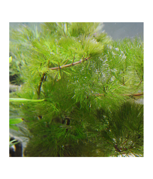 planet plants 80er set bund topf holz aquarium pflanzen dehner. Black Bedroom Furniture Sets. Home Design Ideas