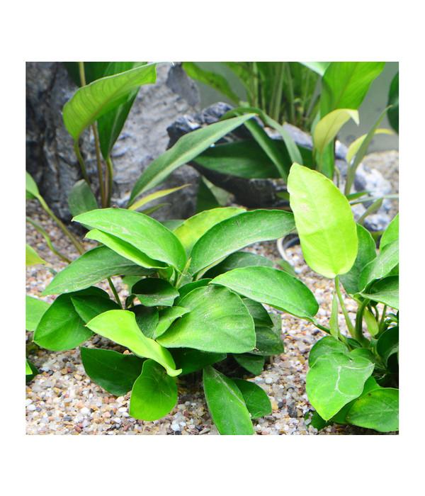 planet plants afrika set ab 150 liter aquarium pflanzen dehner. Black Bedroom Furniture Sets. Home Design Ideas