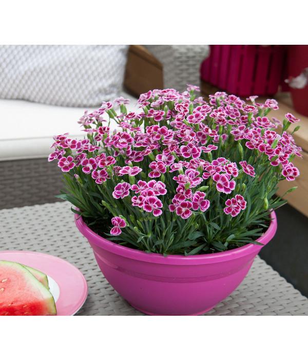 Prinzess nelke 39 pink kisses 39 schale dehner - Duftende gartenpflanze ...
