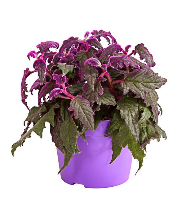 Samtpflanze Dehner