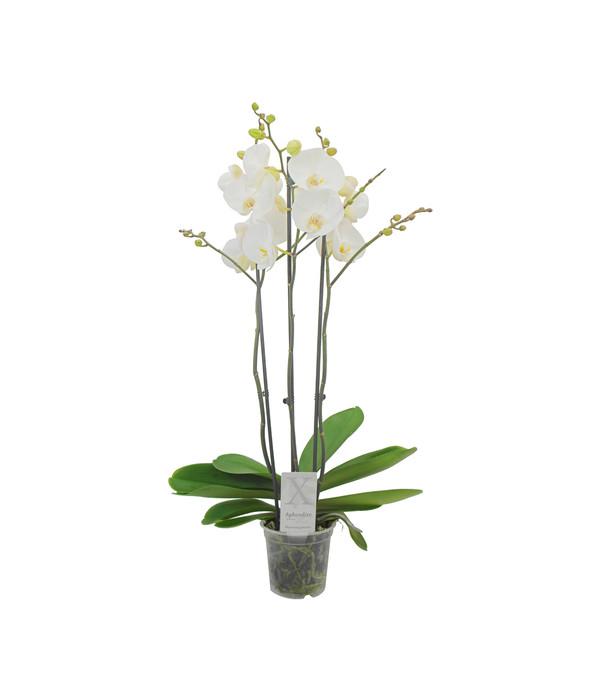 orchidee 3 triebe