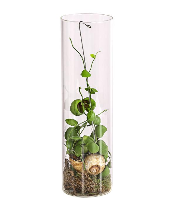 Tillandsien Kaufen schneckenhauspflanze 39 snaily 39 dehner