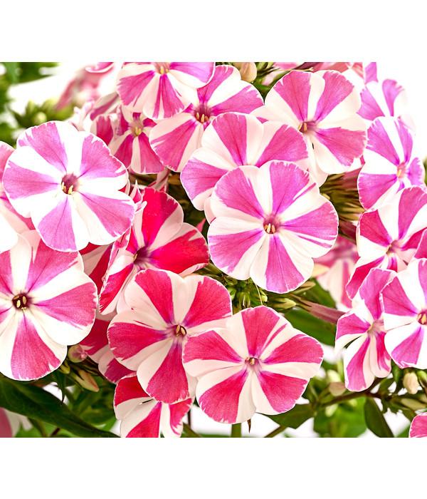 winterfest Stauden Paket mit 10 Pflanzen Flammenblume Phlox