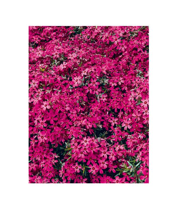 Berühmt Teppich-Phlox - Polster-Phlox | Dehner #ZU_47