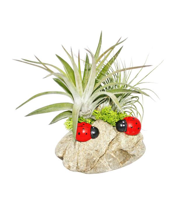Tillandsien Kaufen tillandsien arrangement 2 pflanzen auf kiesel mit käfern dehner