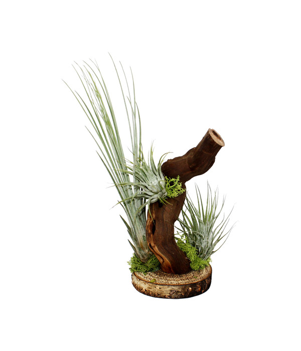 Tillandsien Kaufen tillandsien arrangement 3 pflanzen 1 mopani holz dehner
