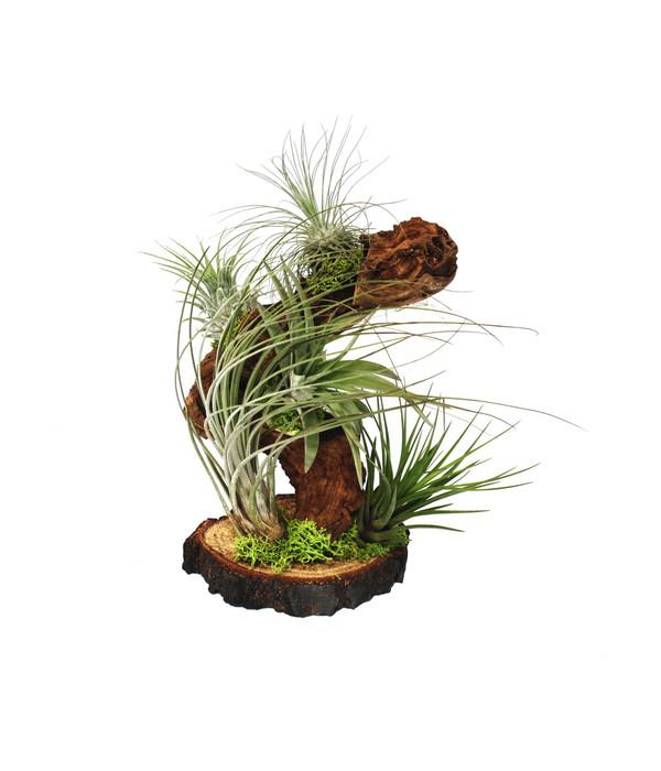 Tillandsien Arrangement Auf Wurzelbaum 5 Pflanzen Dehner