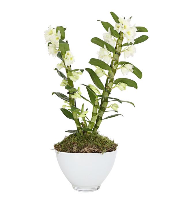 traubenorchidee mit glas bertopf dehner. Black Bedroom Furniture Sets. Home Design Ideas