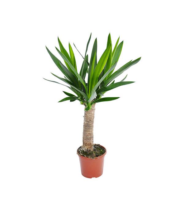 yucca palme 39 maya tree 39 dehner. Black Bedroom Furniture Sets. Home Design Ideas