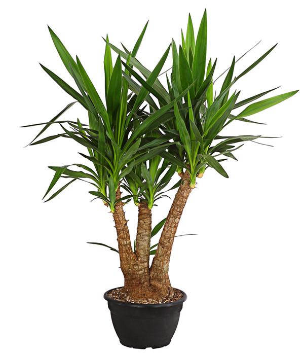 Yucca palme verzweigt dehner for Yucca wohnzimmer