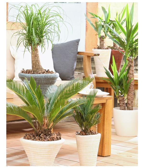 yucca palme dehner. Black Bedroom Furniture Sets. Home Design Ideas
