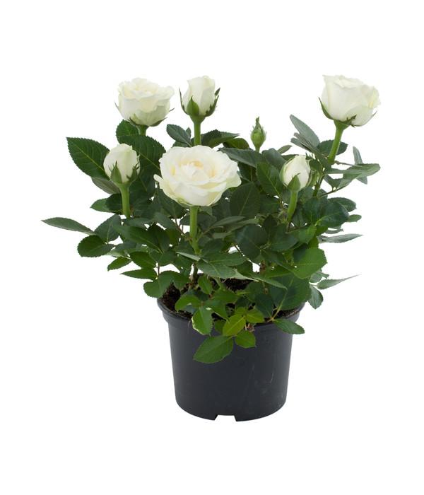 zwerg rose topf rose china rose busch gef llt dehner. Black Bedroom Furniture Sets. Home Design Ideas