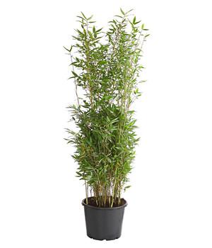 Bambus Im Garten Fur Eine Wohlfuhloase Dehner