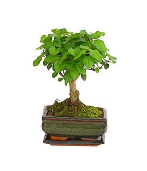 Bonsai Pflanzen Fur Ihre Wohnung Dehner