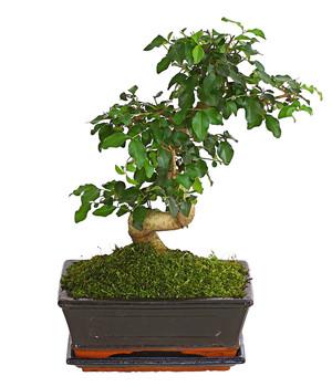 Bonsai Pflanzen Für Ihre Wohnung Dehner
