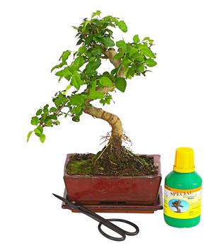 Bonsai Anfänger bonsai anfänger-geschenkset - fukientee   dehner