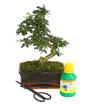 birkenfeige 39 ginseng 39 bonsai in keramik dehner. Black Bedroom Furniture Sets. Home Design Ideas