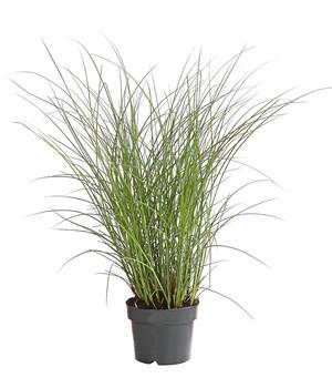 Winterharte Gräser Garten gräser pflegeleicht und winterhart für den garten dehner