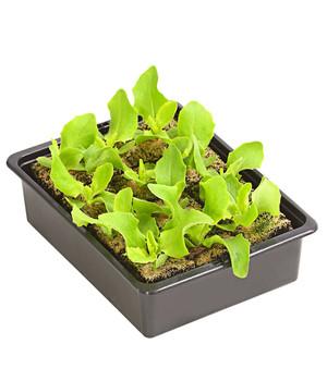Salatpflanzen Bei Dehner Etwas Fur Jeden Geschmack Dehner