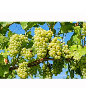 Weinreben fruchtig saftig knackig dehner for Weintrauben im garten anbauen