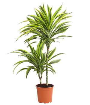 Zimmerpflanzen in bester Qualität | Dehner