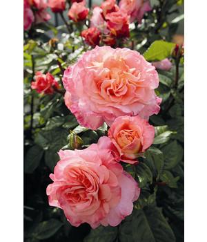 romantische rosen online kaufen dehner. Black Bedroom Furniture Sets. Home Design Ideas