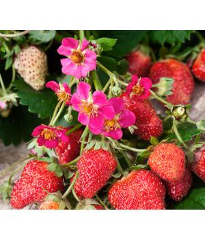 """Eine altbewährte Erdbeerpflanze /""""Senga Sengana/"""""""