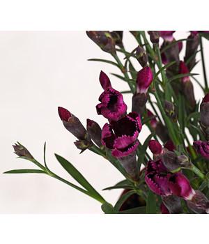 fr hlings anemone strahlen anemone blau dehner. Black Bedroom Furniture Sets. Home Design Ideas