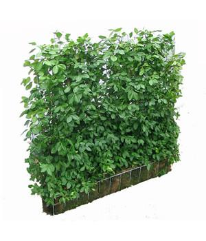heckenpflanzen pflegeleichter sichtschutz dehner. Black Bedroom Furniture Sets. Home Design Ideas