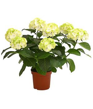 Blühende Zimmerpflanzen - beste Qualität | Dehner