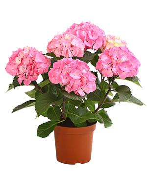 Hortensien Im Schatten hortensien mit prächtigen blüten im dehner shop dehner