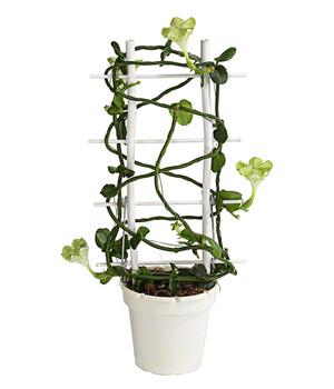 Blühende Zimmerpflanzen Beste Qualität Dehner