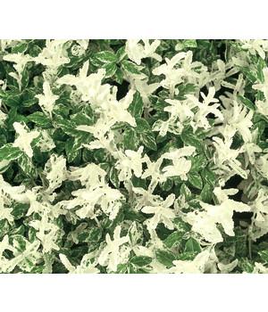 Hangbepflanzung Bodendecker bodendecker & efeu: pflegeleichte pflanzen | dehner