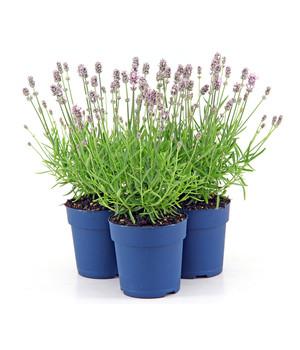 Lavendel Für Ihren Garten Dehner