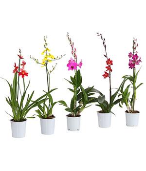 Exotische Orchideen Fur Zuhause Dehner