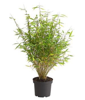 Bambus Im Garten Für Eine Wohlfühloase Dehner