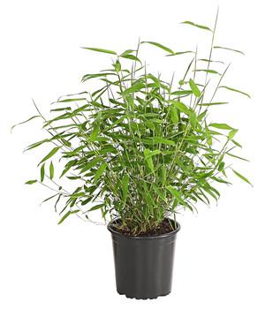 Schirm Bambus U0027Jumbou0027