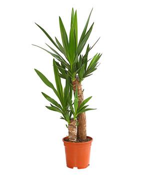 Korbmarante 39 lancifolia 39 dehner - Hanf zimmerpflanze ...