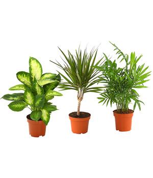 Zimmerpflanzen-Trio, Bergpalme-Drachenbaum-Dieffenbachie