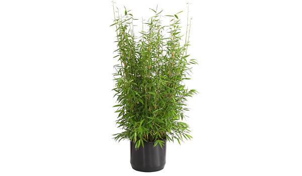 Bambus im Garten – für eine Wohlfühloase | Dehner