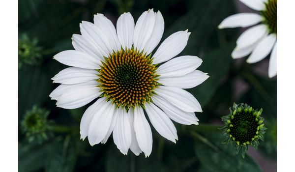 Prachtstauden für Blütenspektakel im Garten | Dehner