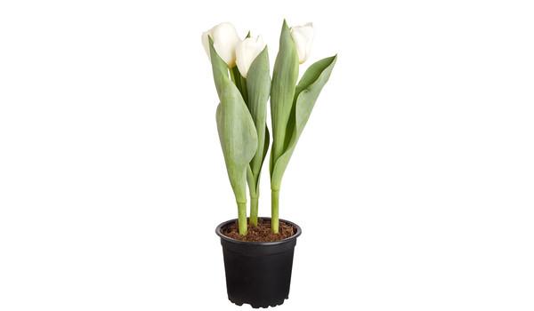 Weber Elektrogrill Dehner : Tulpen in wunderschönen farben online dehner
