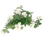Jasmin-Nachtschatten - Jasmin-Solanum